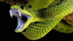http://www.dreamstime.com/royalty-free-stock-images-attacking-snake-great-lakes-viper-atheris-nitschei-impressive-species-native-to-tropical-uganda-surrounding-areas-image39543829